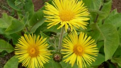 Amazing benefits of elecampane