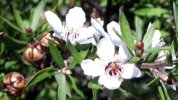Benefits of Manuka oil