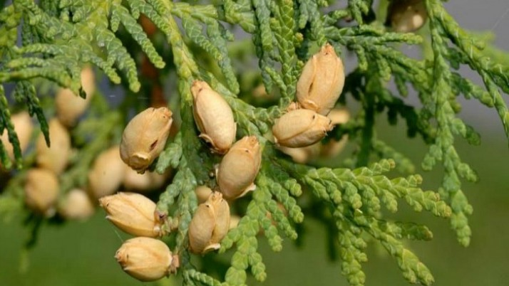 Health Benefits Of Thuja