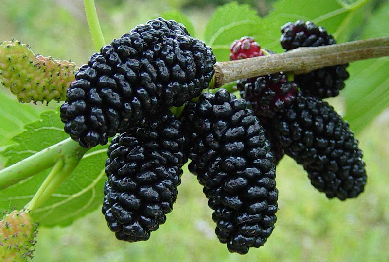 Amazing Benefits Of Mulberries (Shahtoot) For Skin, Hair And Health