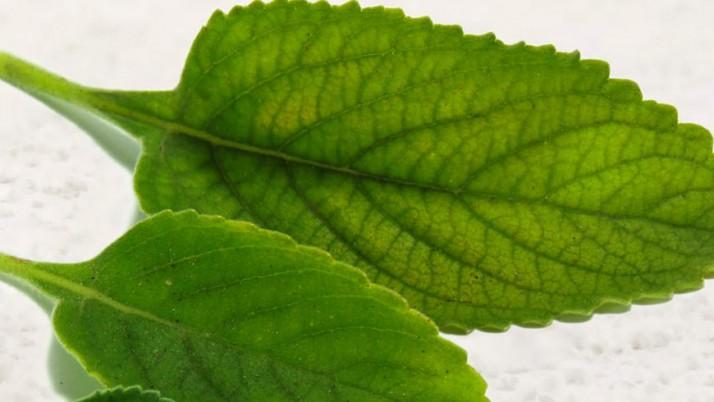 Benefits of boldo leaves